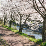 満開の桜を見てうつ病を療養